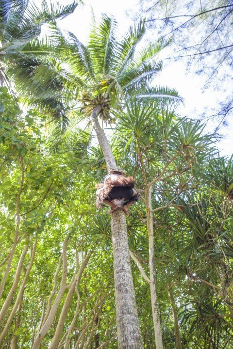 Crew climbed up a coconut tree in a heartbeat